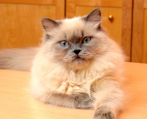 bluepoint himalayan cat China Pet Transport