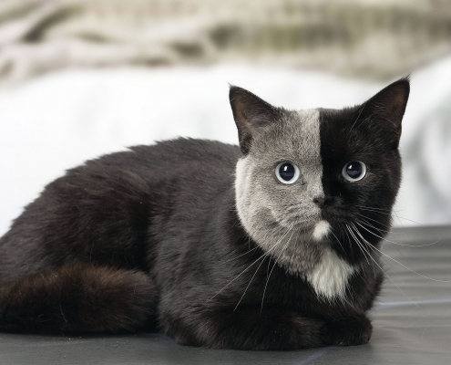 TWO TONED CAT