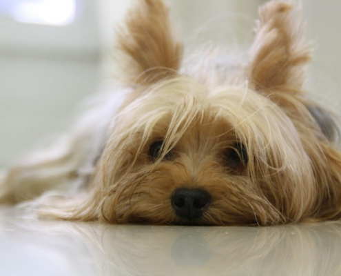 Yorkshire Terrier China Pet Transport